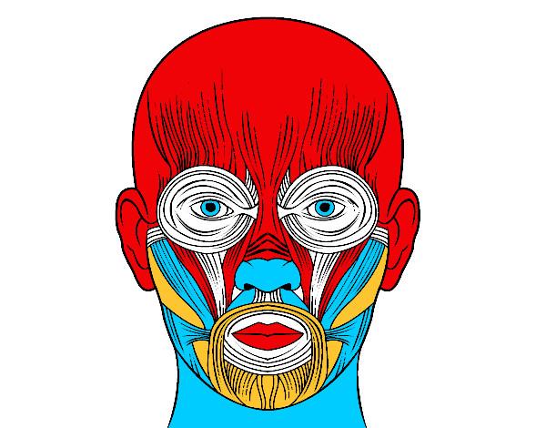 Amado Desenho de Músculos da face pintado e colorido por Anderson14 o  LH12