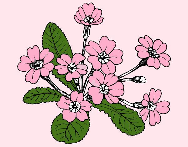 Desenho de primula pintado e colorido por usu rio n o for Primule da colorare