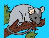 Ardilla possum