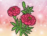 Flor da maravilha