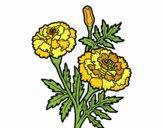 Maravilha flor
