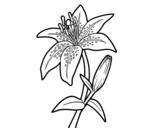 Desenho de Açucena para colorear