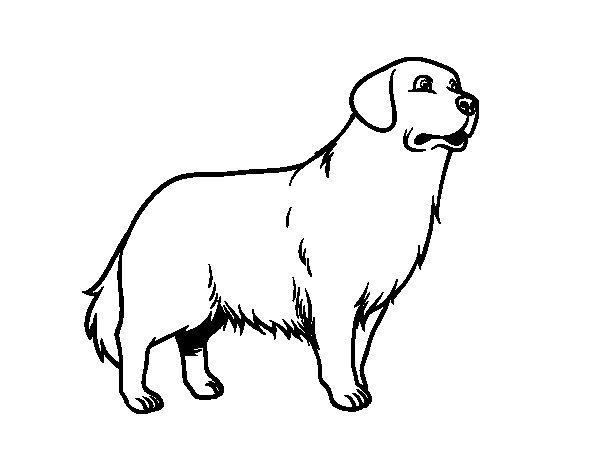 Desenho de Cão Golden retriever para Colorir