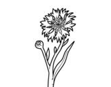 Desenho de Centáurea para colorear