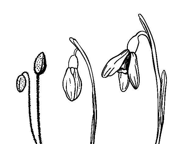Desenho de Flor de edelvais para Colorir