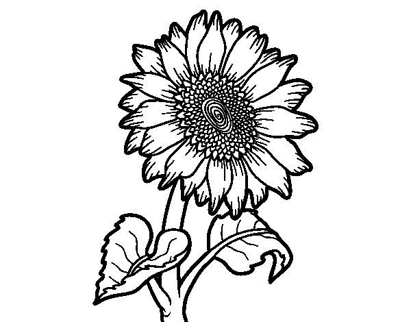 Desenho de Flor de girassol para Colorir