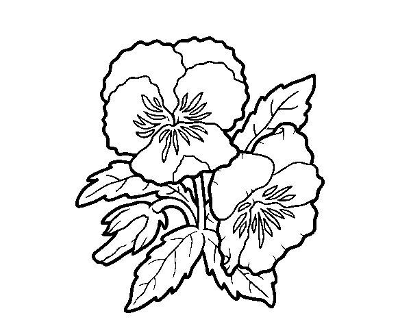 Desenho de Flor de pensamento para Colorir