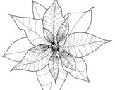 Desenho de Flor de poinsétia para colorear