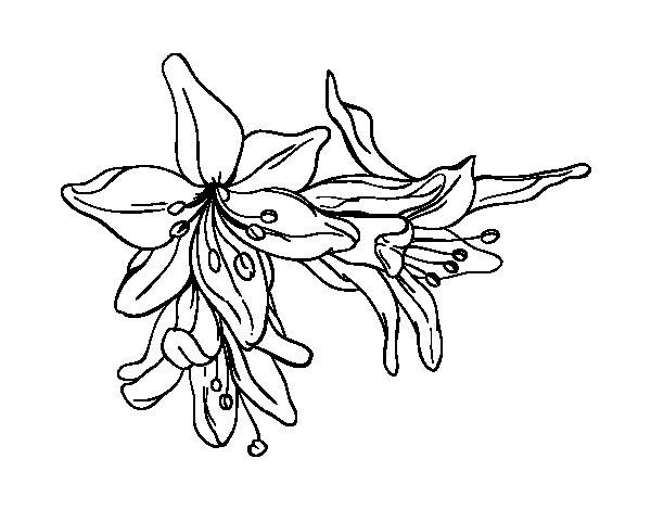 Desenho de Flores do lilium para Colorir