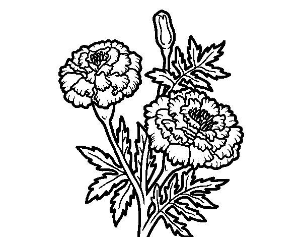 Desenho de Maravilha flor para Colorir