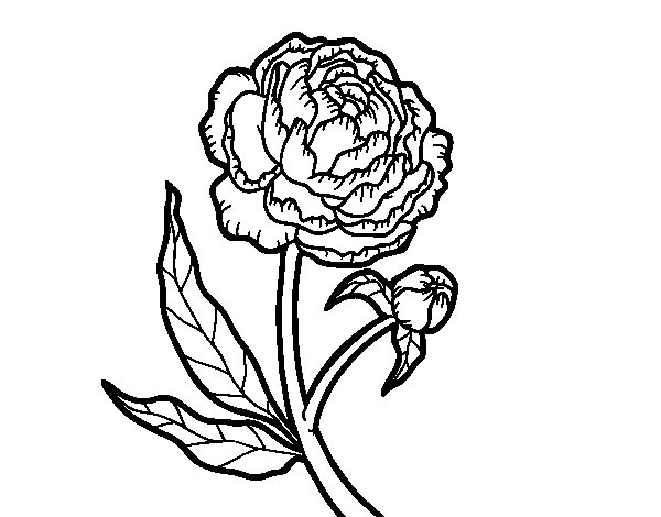 Desenho de Peónia para Colorir