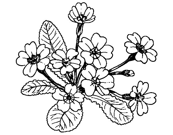 Desenho de Primula para Colorir